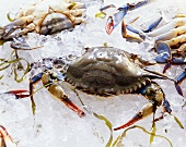 Fresh Female Blue Crabs on Ice