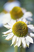 White echinacea flowers out of doors (close-up)