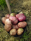 Freshly picked potatoes on spade in grass