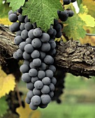 Cabernet-Sauvignon-Trauben auf dem Weinstock
