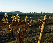 Spring Bud Chardonnay; Russian River Appellation