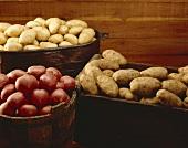 Still Life: Assorted Potatoes in Bins