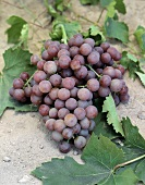 Bunch of Red Globe Grapes