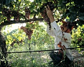 Field Worker Picking Red Grapes from the Vine