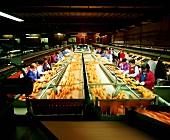 Arbeiterinnen beim Orangen sortieren