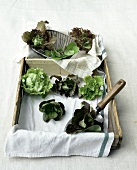 Various lettuces with small scoop in a wooden box
