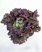New lettuce variety: 'Impulus'