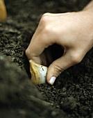 Hand setzt Knoblauchzehe in die Erde