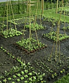 Growing salad, vegetables and flowers with bamboo canes