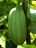 Green Squash Growing on Fence