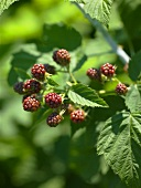 Young Blackberries on the Bush