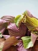 Close Up of Many Red Shiso Mints Leaves