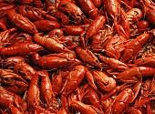 Many Crawfish