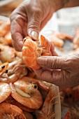 Close Up of Hands Peeling Boiled Shrimp