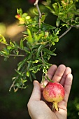 Hand Holding a Pomegranate on the Tree