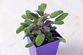 Fresh Sage in a Purple Container