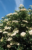 Elderflowers Growing Against a Blue Sky