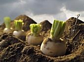 Turnips in a Garden