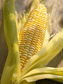 Fresh Ear of Corn in Partially Peeled Husk