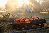 Wooden Trailer Filled with Pumpkins, Outdoors, Upstate New York