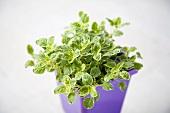 Marjoram Plant in a Pot