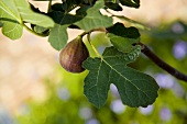 Fig in Tree