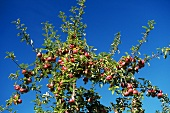 Many Apples Growing in a Tree Against a Blue Sky