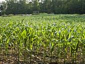 Ein Maisfeld im späten Frühling