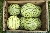 Watermelons in a Crate; From Above