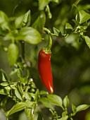 Eine rote Chilischote an der Pflanze