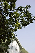 Apple Tree with House in Background