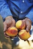 Man Holding Three Just Picked Organic Peaches
