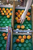 Placing Peaches in Crates
