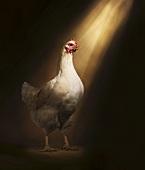 A White Chicken