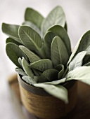 Fresh Sage in Wooden Container