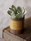 Sage in Wooden Container