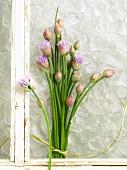 Blühender Schnittlauch am Fenster