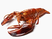 Single Lobster on White Background