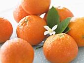 Mehrere Clementinen mit Blättern und Blüte