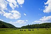 Angusrinder auf der Weide