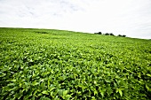 Soybean Field in Pennsylvania