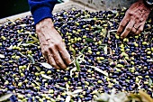 Sorting Olives during Harvest; Tuscany