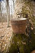 Wooden Maple Bucket on Tree; Ohio