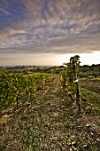 Grape Vines in Vineyard; Cloudy Sky