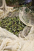 Olives in a Net; Tuscany