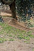 Harvesting Olives in Tuscany