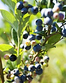 Organic Blueberries on Bush