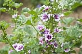 Organic Mallow (Malva Sylvestris) Plants