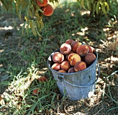 Pail of Fresh Picked Peaches Under a Peach Tree