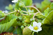 Strawberry Blossom on Plant